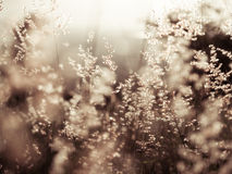 Red natal grass (shallow dof abstract background, warm colors, p. Lace for text Stock Photography