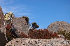 Red Native Alpine Shrubs, Hobart. Red native alpine shrubs in rock formation, Mount Wellington, Hobart, Tasmania, Australia royalty free stock photo