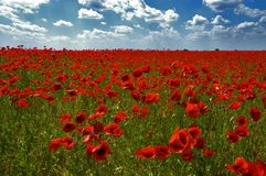 Red natural carpet. The field of poppies Royalty Free Stock Photography
