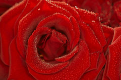 Red natural rose background  with droplets Royalty Free Stock Images