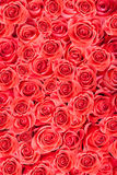 Red natural roses background Stock Photos