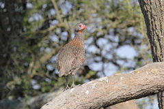 Red neck francolin on a branch Royalty Free Stock Photo