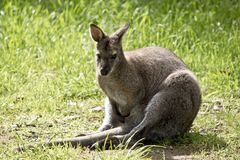 Red neck wallaby. The red neck wallaby is resting in the grass royalty free stock photography