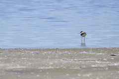 Red-Necked Avocet (Recurvirostra Novaehollandiae) Royalty Free Stock Photography