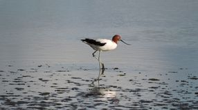 Free Red-necked Avocet Wading In Shallow Waters Royalty Free Stock Photo - 158841535