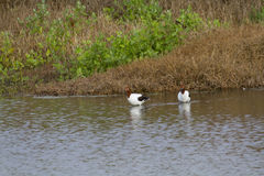 Red-Necked Avocets (Recurvirostra Novaehollandiae) Stock Photos