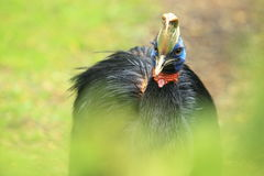 Red-necked Cassowary Royalty Free Stock Image