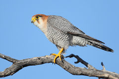 Red-necked falcon Royalty Free Stock Image