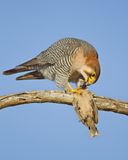 Red-necked falcon Royalty Free Stock Images