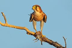 Red-necked falcon with prey Royalty Free Stock Photo
