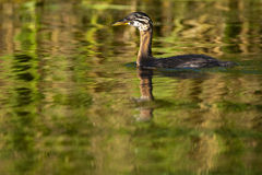 Red Necked Grebe, chick
