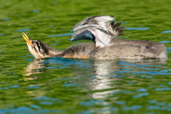 Red-necked Grebe Stock Images