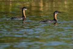 Red Necked Grebe, chicks Royalty Free Stock Photo