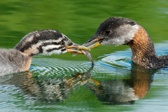 Red-necked Grebe royalty free stock photo