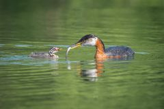 Red-necked Grebe Feeding Fish To Chick stock photography