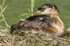 Red-necked Grebe Stock Photography