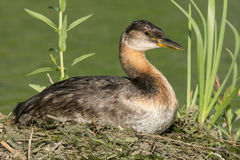 Red-necked Grebe stock image