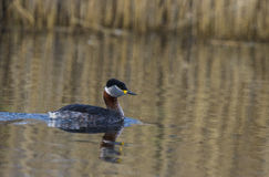 Red necked Grebe Royalty Free Stock Photo