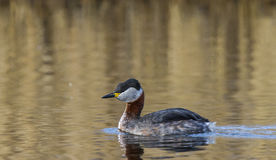 Red necked Grebe Royalty Free Stock Images