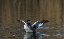 Red necked Grebe Stock Photography