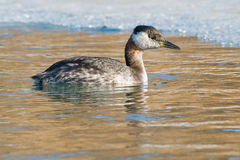 Red-necked Grebe Royalty Free Stock Photos