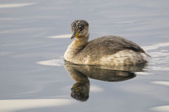 Red-necked grebe - podiceps grisegena Royalty Free Stock Image