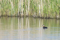Red-necked Grebe Stock Photo