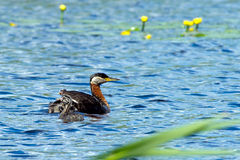 Red-necked Grebe (Podiceps grisegena) with chicks. The beautiful Red-necked Grebe (Podiceps grisegena) and their chicks with striped head and breast on a marsh royalty free stock images