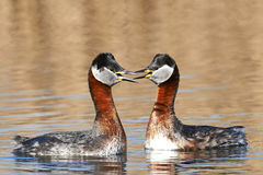 Red Necked Grebe (Podiceps grisegena) Royalty Free Stock Image
