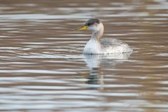 Red-necked Grebe - Podiceps grisegena. Young Red-necked Grebe swimming in the open water. Humber Bay Park, Toronto, Ontario, Canada royalty free stock photos