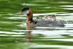 Red-necked Grebe Royalty Free Stock Image