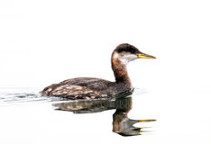 Red-necked Grebe in Winter Plummage, Canada. Red-necked Grebe in Winter Plummage, Vancouver, Island, Canada Stock Photography