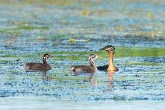 Red-necked grebe & x28;Podiceps grisegena& x29;