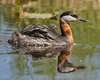 Red necked Grebes cab Royalty Free Stock Image