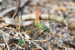 Red-necked keelback snake. On the ground stock images
