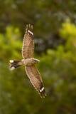 Red necked Nightjar in flight Stock Images