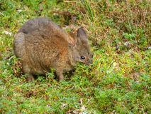 Red-Necked Pademelon. Grazing, high grass, Queensland, Australia Royalty Free Stock Photos