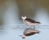 Red-necked phalarope Royalty Free Stock Image