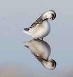 Red-necked phalarope Stock Photos