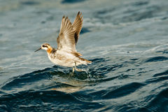 Red Necked Phalarope Royalty Free Stock Images