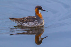 Red Necked Phalarope Royalty Free Stock Image
