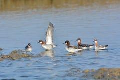 Red-necked Phalarope bird Stock Photo
