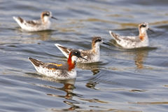 Red-necked Phalarope Stock Images