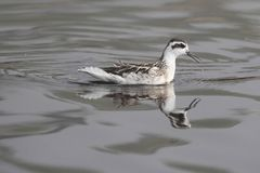 Red-necked Phalarope (Phalaropus lobatus) Royalty Free Stock Photos