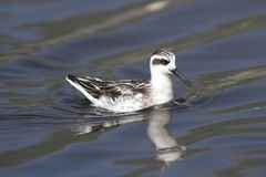 Red-necked Phalarope (Phalaropus lobatus) Royalty Free Stock Photography