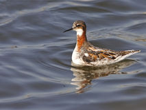 Red-necked Phalarope Royalty Free Stock Images