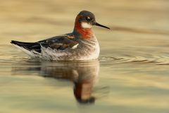 Red-necked Phalarope - Phalaropus lobatus Royalty Free Stock Photos