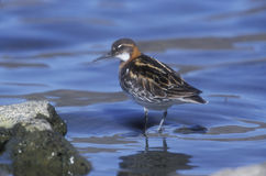 Red-necked phalarope, Phalaropus lobatus Stock Photo