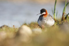 The red-necked phalarope Royalty Free Stock Images