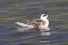 Red-necked Phalarope (Phalaropus lobatus) Swimming Royalty Free Stock Photos